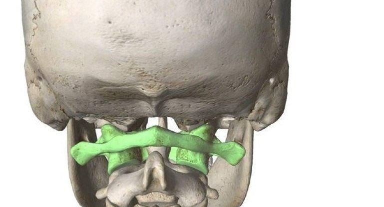 Строение и функции атлантозатылочного сустава