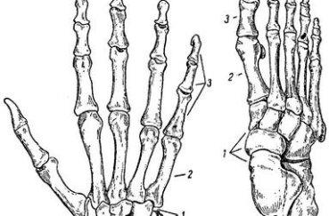 Из чего состоят пястно-фаланговый и плюснефаланговый суставы: изучаем…