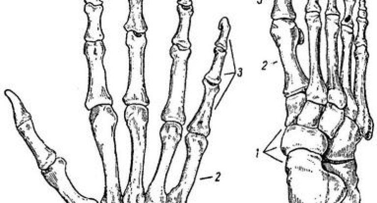 Из чего состоят пястно-фаланговый и плюснефаланговый суставы: изучаем анатомию