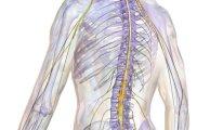 Анатомия и физиология спинного мозга