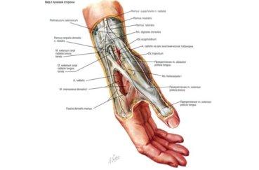 Рассматриваем строение кисти рук в подробностях и деталях