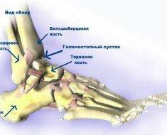 Строение голеностопного сустава