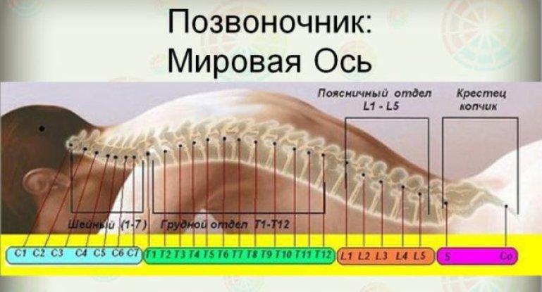 Основа организма — позвоночник и его детальное строение