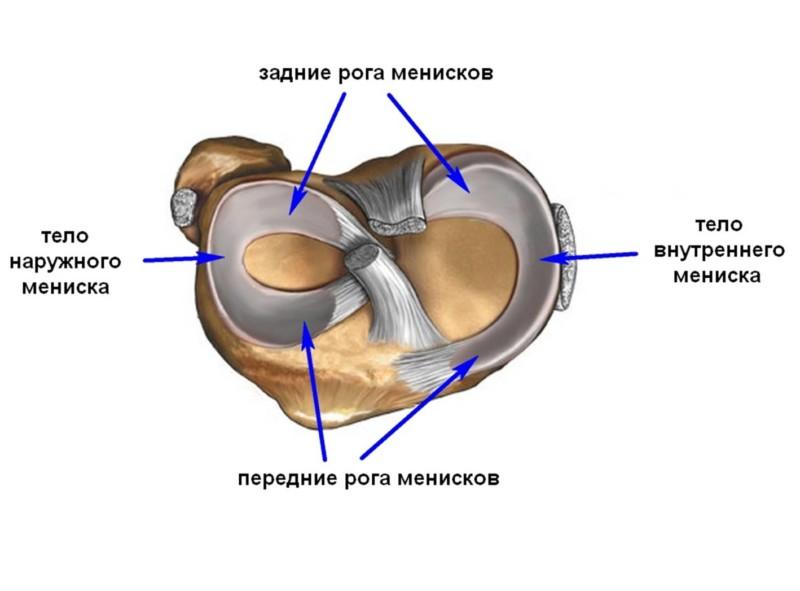 Строение хрящевой ткани