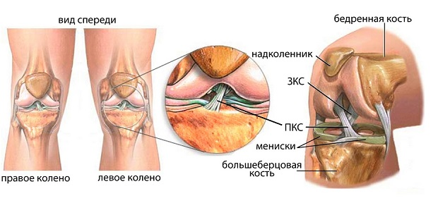 Анатомия ПКС левого колена