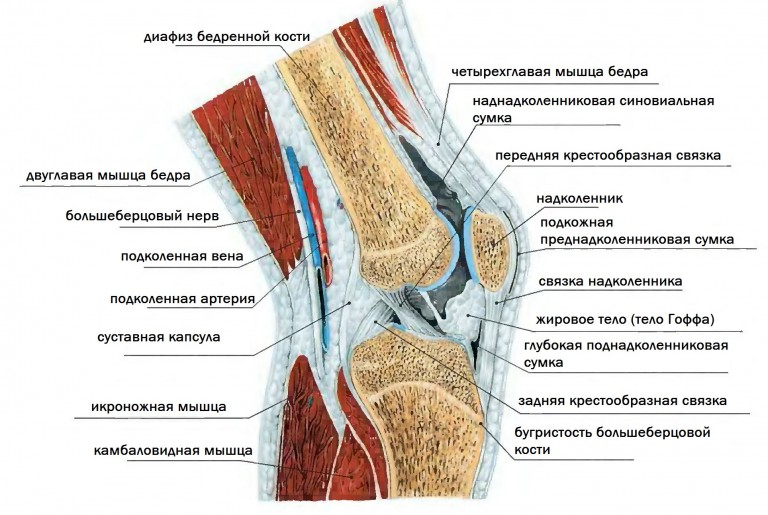 Детальное строение колена