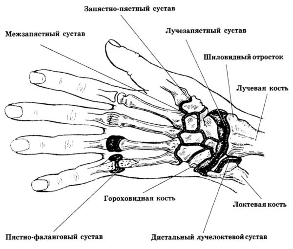 Схематическое изображение строения руки