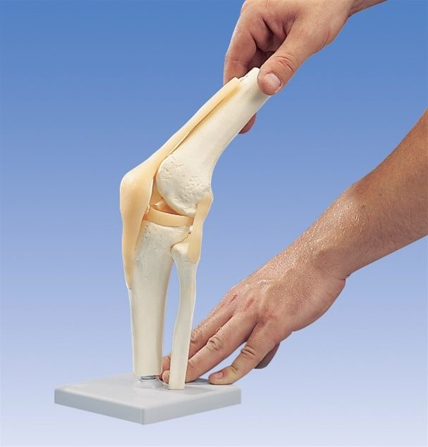 Механика человеческого колена