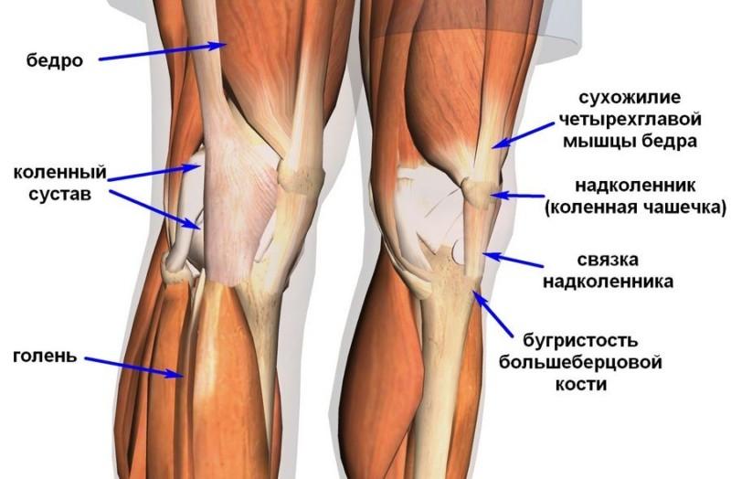 Мышечная структура коленного сустава
