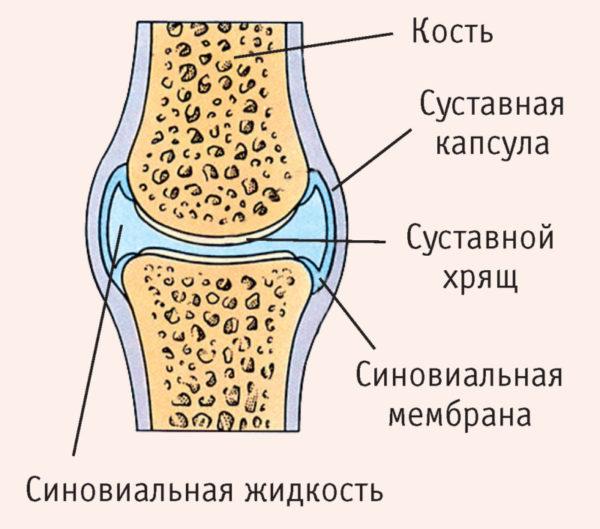 Подробное строение сустава