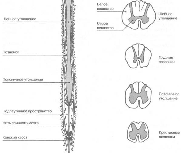 Анатомические особенности строения