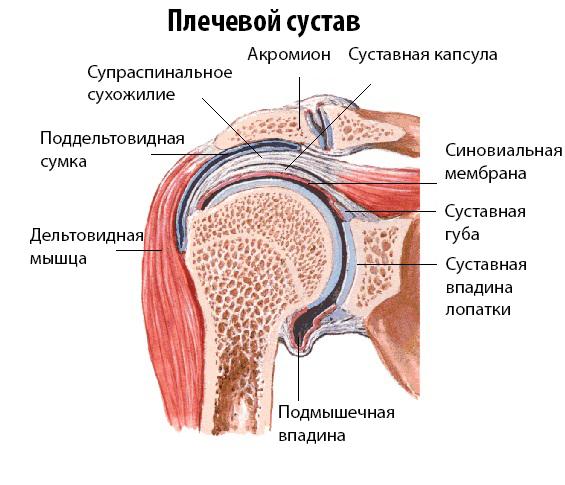 Анатомическое строение плеча