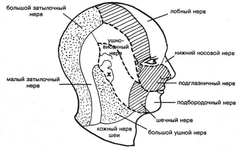 Нервные окончания в голове