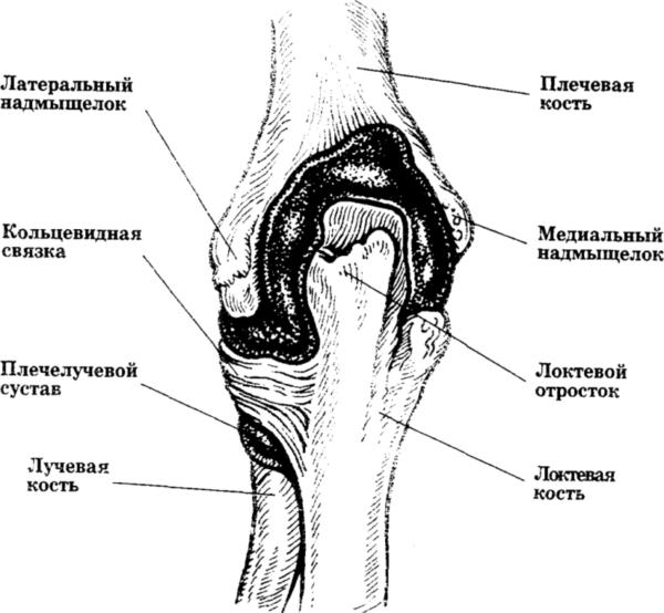 Анатомия локтевого сустава
