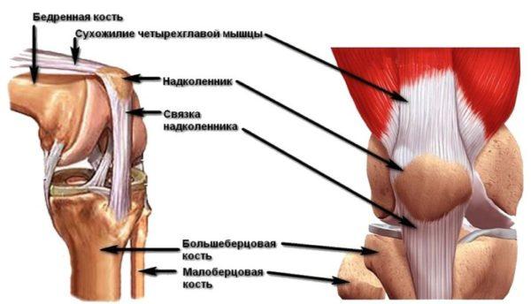Сухожилия коленного сустава