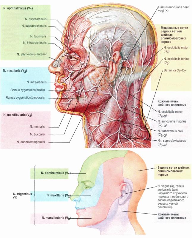 Анатомия сосудов человека
