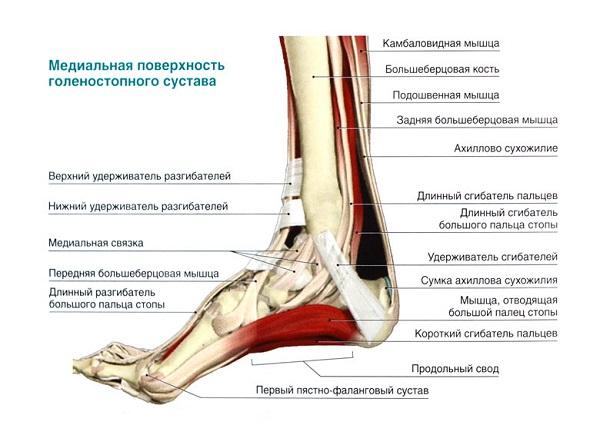 Расположение различных мышц