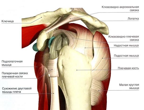 Анатомия мышечной структуры