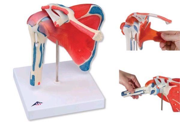 3D проекция мышц плеча