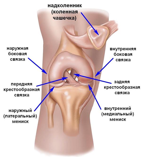 Анатомия связок коленного сочленения