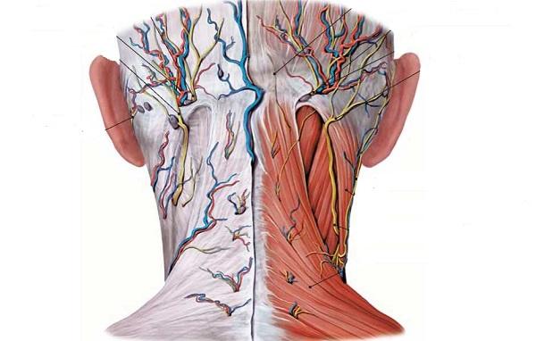 Расположение артериальных стволов