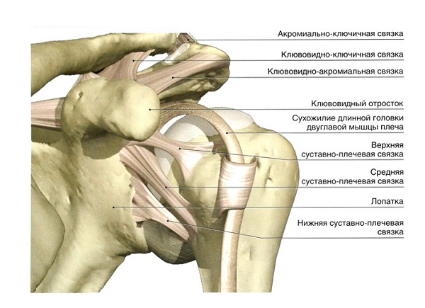 Анатомия связок плечевого сустава