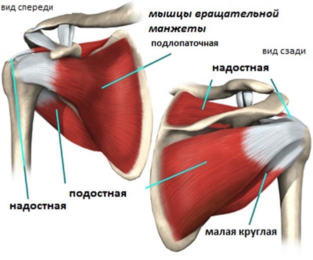 Мышцы в плечевом суставе