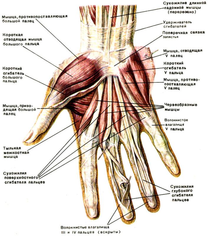 Изображение - Суставы кистей рук анатомия 000143