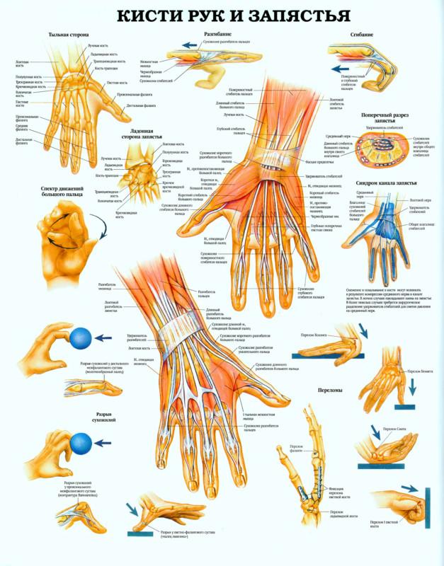 Изображение - Суставы кистей рук анатомия 31_Kisti-ruk-i-zapyastya