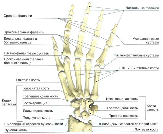 Изображение - Суставы кистей рук анатомия kist