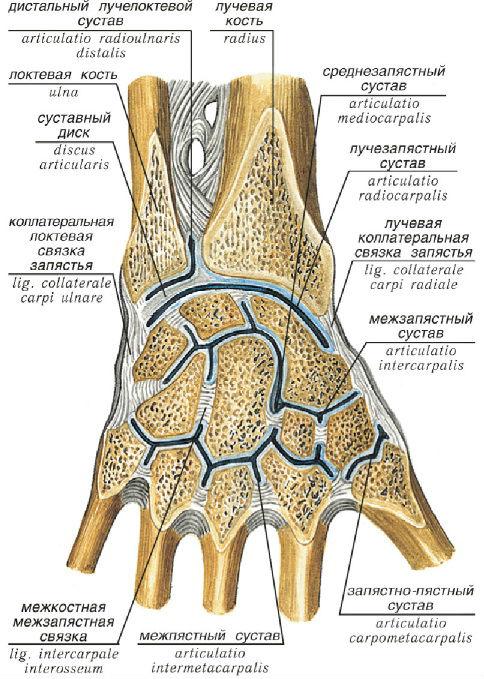 Изображение - Суставы кистей рук анатомия luchezap-su-3