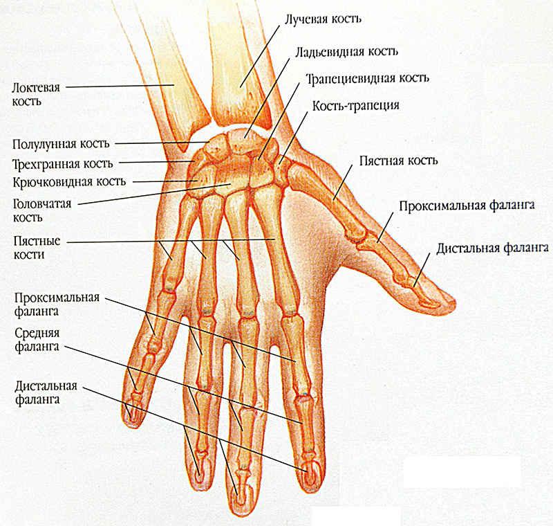 Изображение - Суставы кистей рук анатомия zapystie